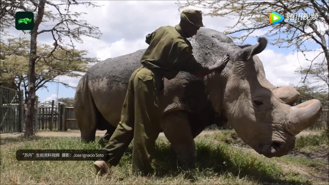 [视频]又一物种灭绝!最后的雄性北方白犀,已魂归肯尼亚