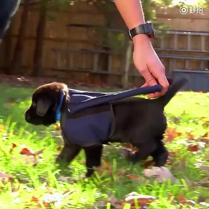 [视频]小导盲犬穿制服训练四脚朝天