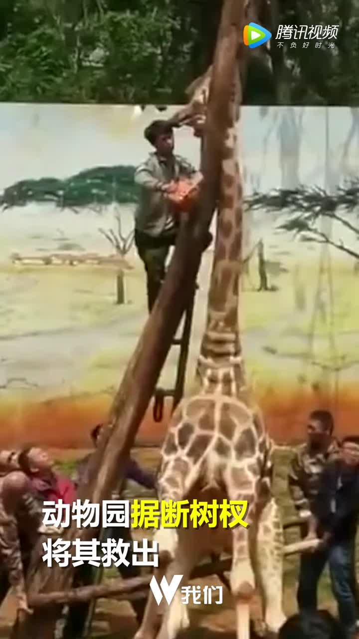 [视频]昆明一长颈鹿蹭痒时被卡树杈 经抢救无效死亡