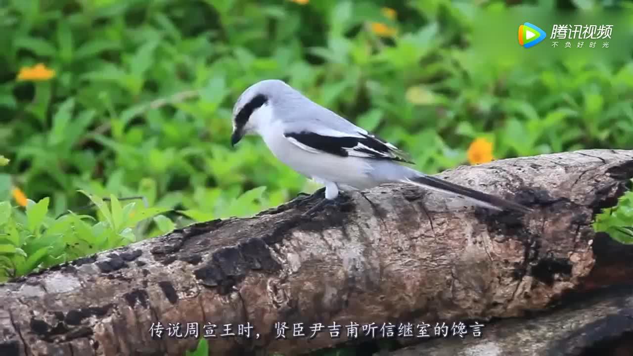 [视频]十分残忍的伯劳鸟:喜欢把猎物刺死在树枝上,做成风干肉!