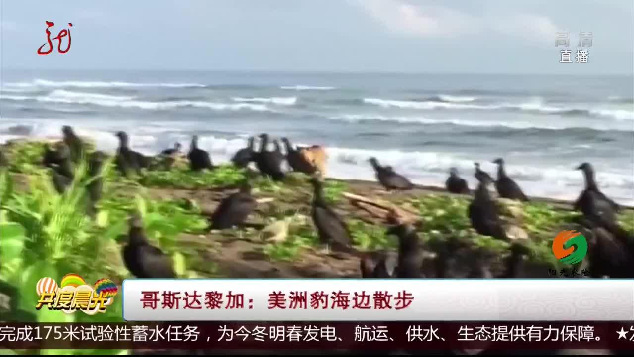 [视频]哥斯达黎加:美洲豹海边散步