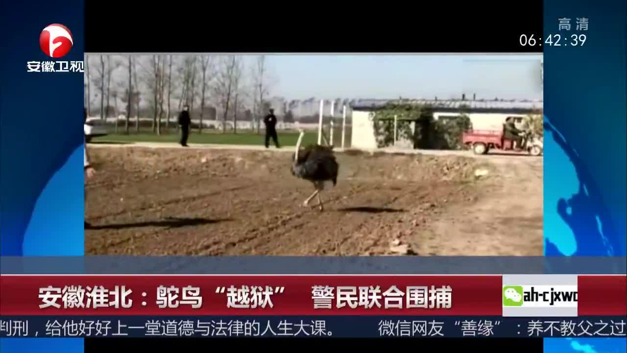 """[视频]安徽淮北:鸵鸟""""越狱"""" 警民联合围捕"""