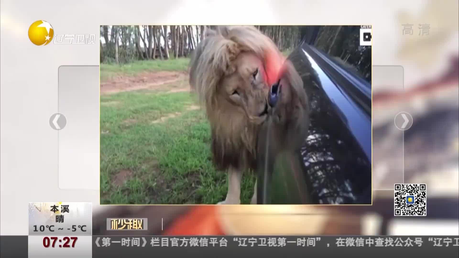 [视频]这就是爱!南非一狮子对路过汽车大胆表达爱意