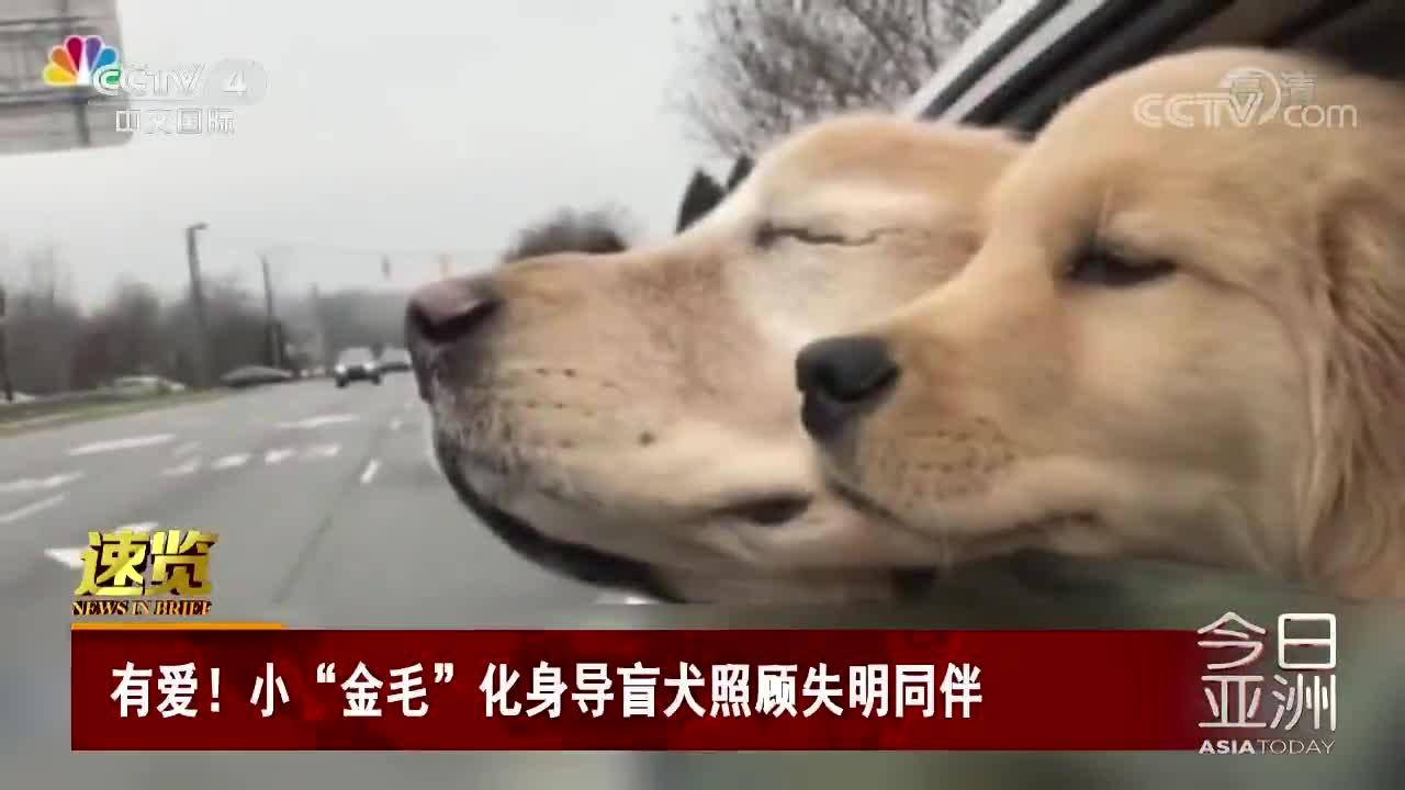 """[视频]小""""金毛""""化身导盲犬照顾失明同伴"""