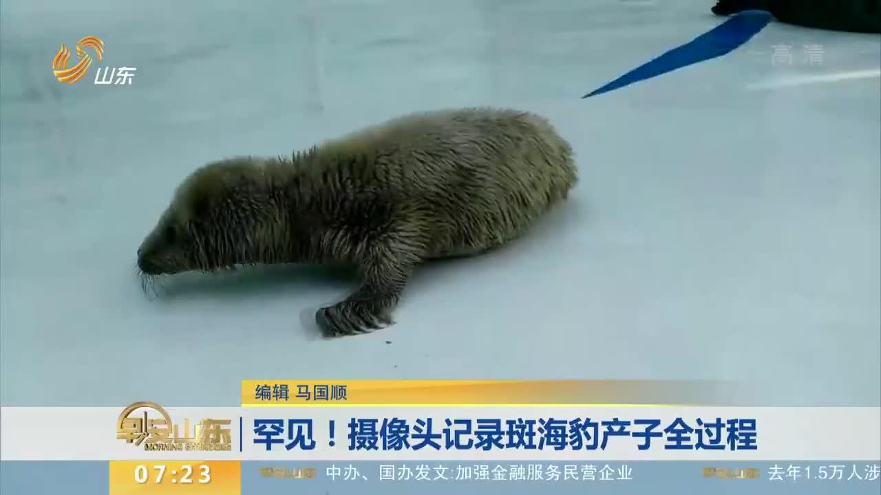 [视频]罕见!摄像头记录斑海豹产子全过程