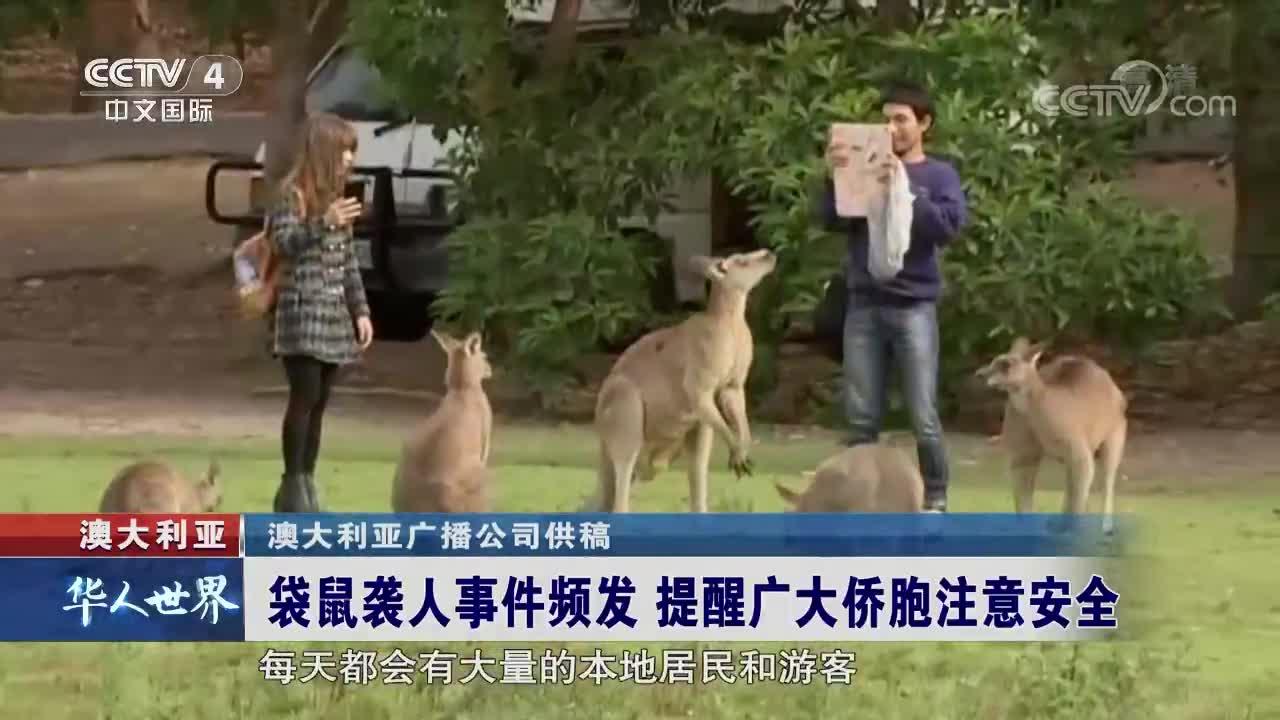 [视频]澳大利亚袋鼠袭人事件频发 提醒广大侨胞注意安全