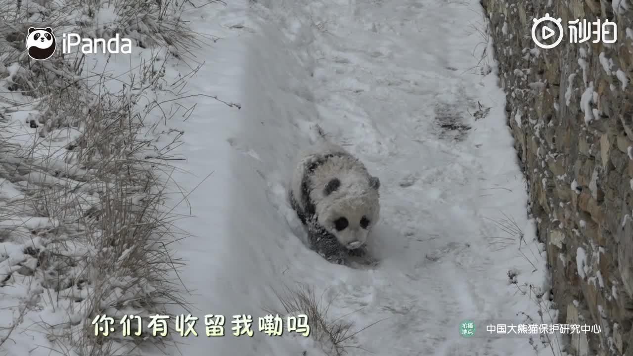 """[视频]超级萌!雪中惊现""""糖霜""""熊猫宝宝"""