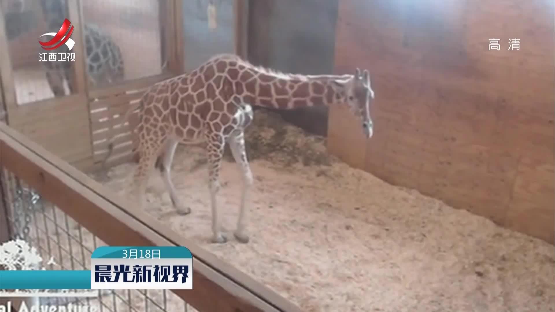 """[视频]美国""""网红""""长颈鹿产仔引关注"""