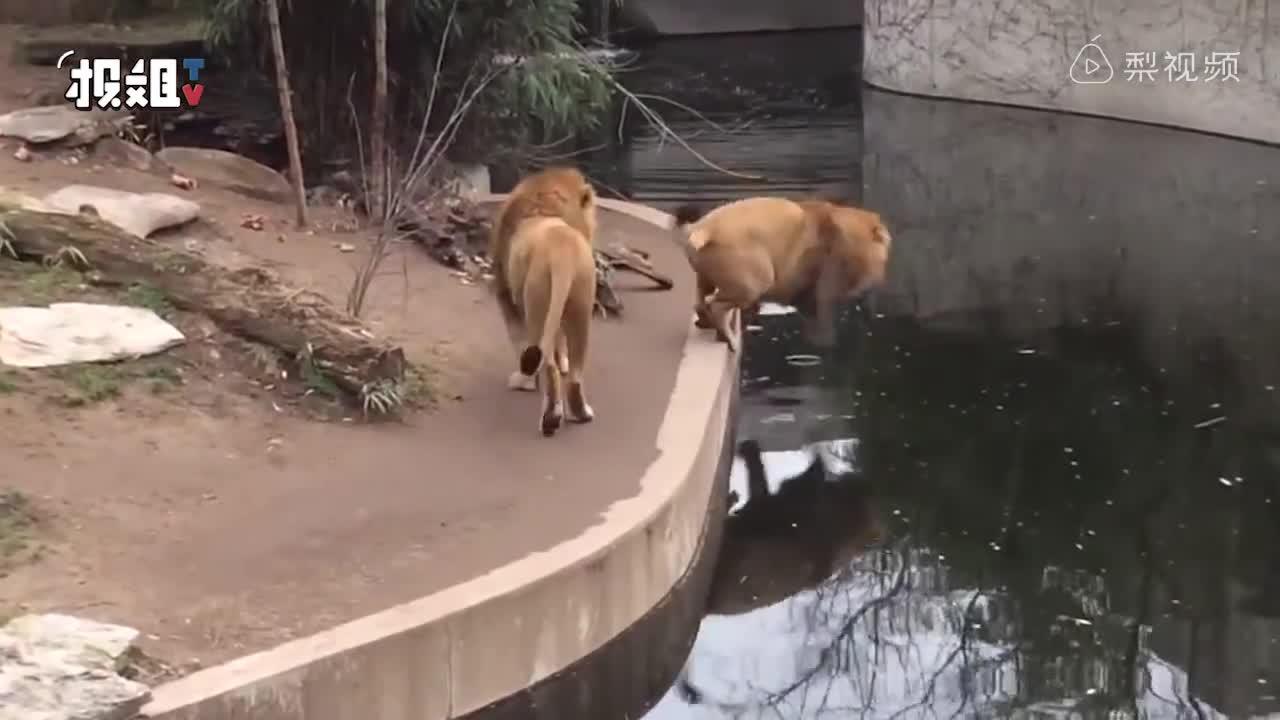 """[视频]万兽之王的尴尬""""只是看个风景游个泳"""""""