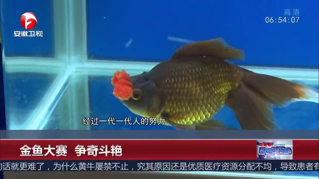 [视频]金鱼大赛 争奇斗艳