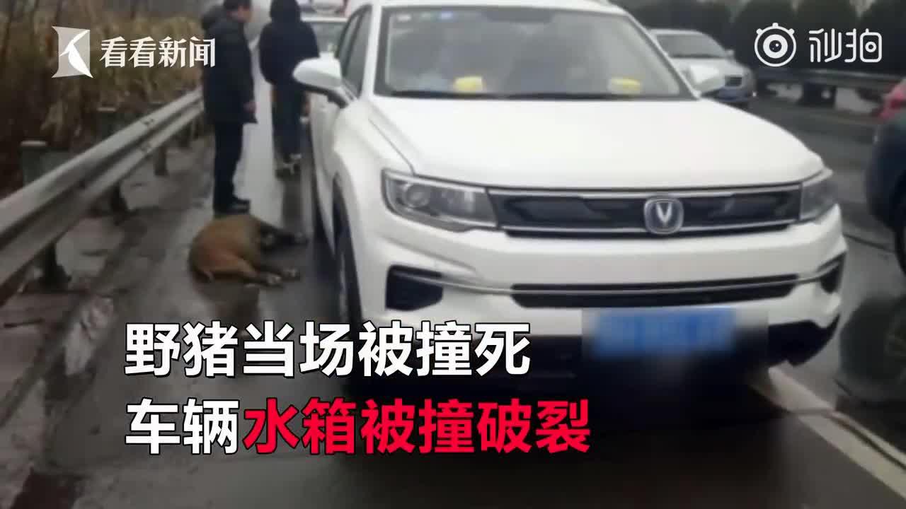 [视频]高速上突遇野猪蹿出 女司机直接怼了上去获交警点赞
