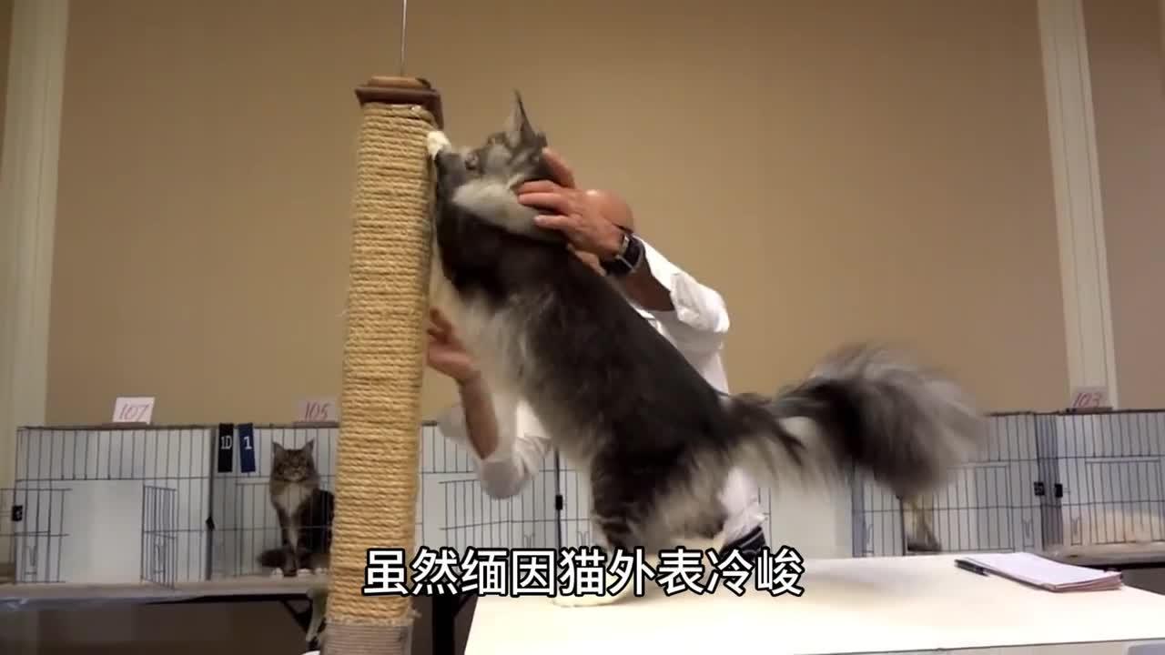 [视频]地球上最大的猫能长到1.23米长 这种猫究竟是什么品种呢?