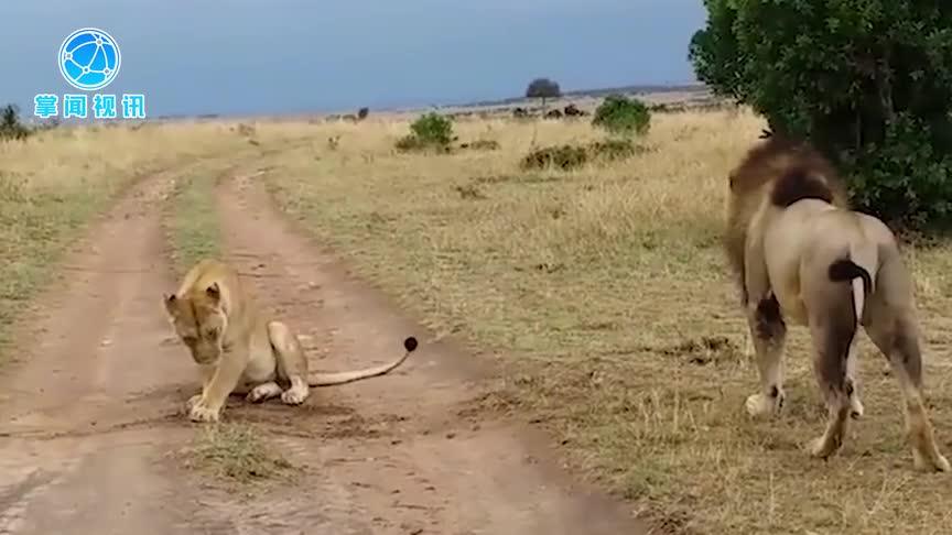 [视频]公狮骚扰母狮小憩遭撕咬  可怕的起床气