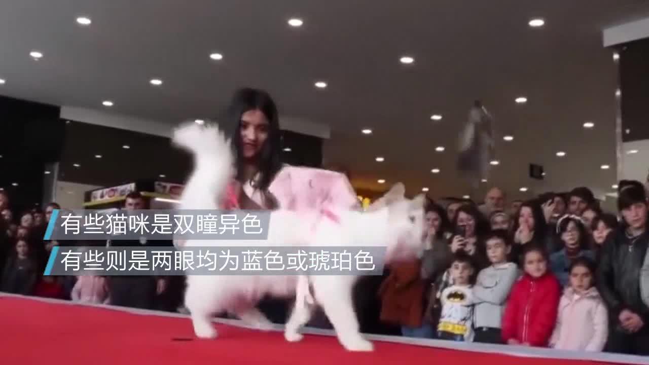 [视频]萌翻了!土耳其举办凡猫选美大赛 喵星人T台走秀可爱动人