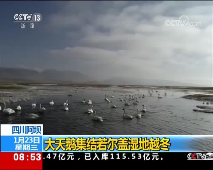 [视频]四川阿坝 大天鹅集结若尔盖湿地越冬