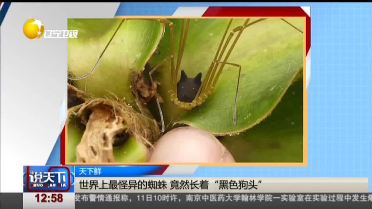"""[视频]世界上最怪异的蜘蛛 竟然长着""""黑色狗头"""""""