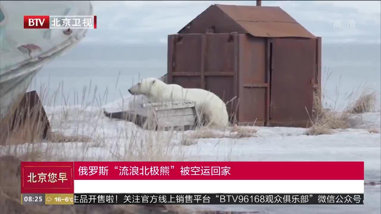 """[视频]俄罗斯""""流浪北极熊""""被空运回家"""