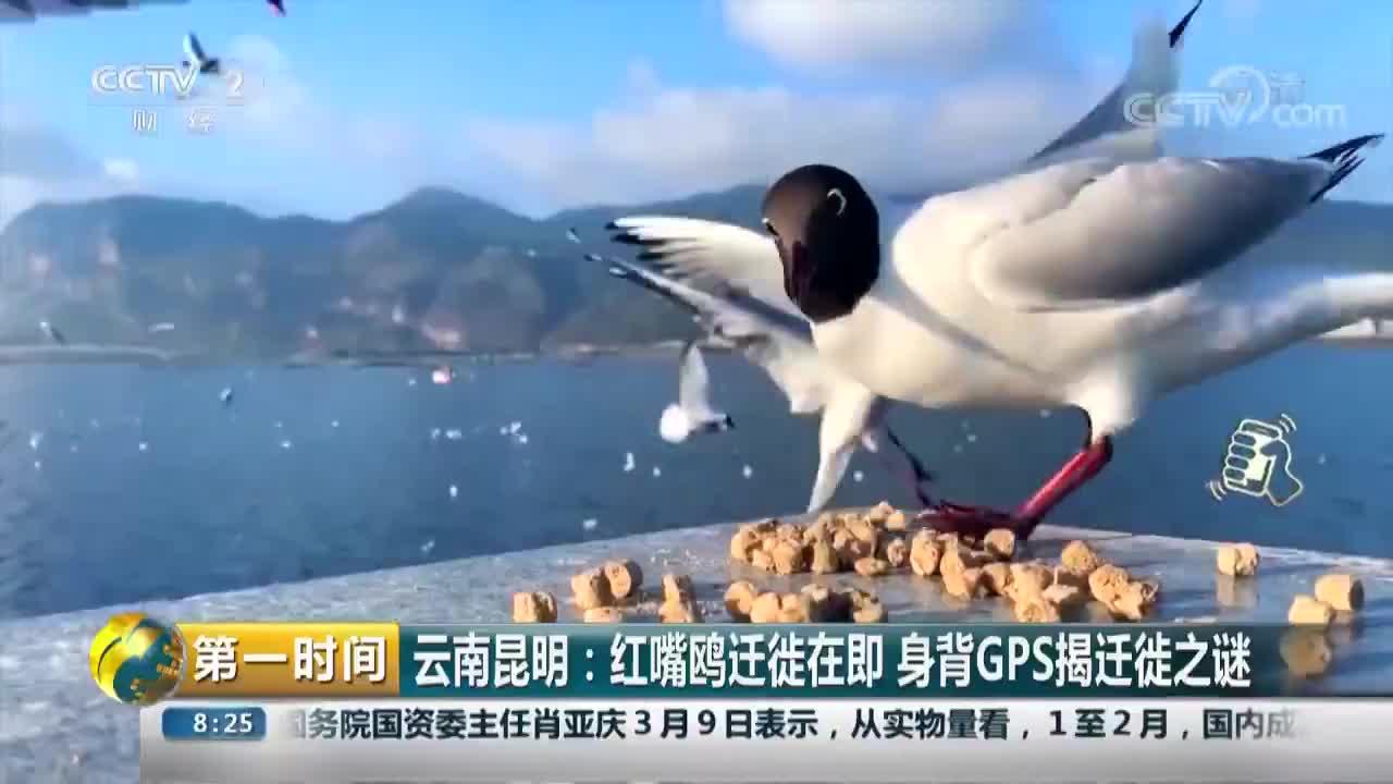[视频]云南昆明:红嘴鸥迁徙在即 身背GPS揭迁徙之谜