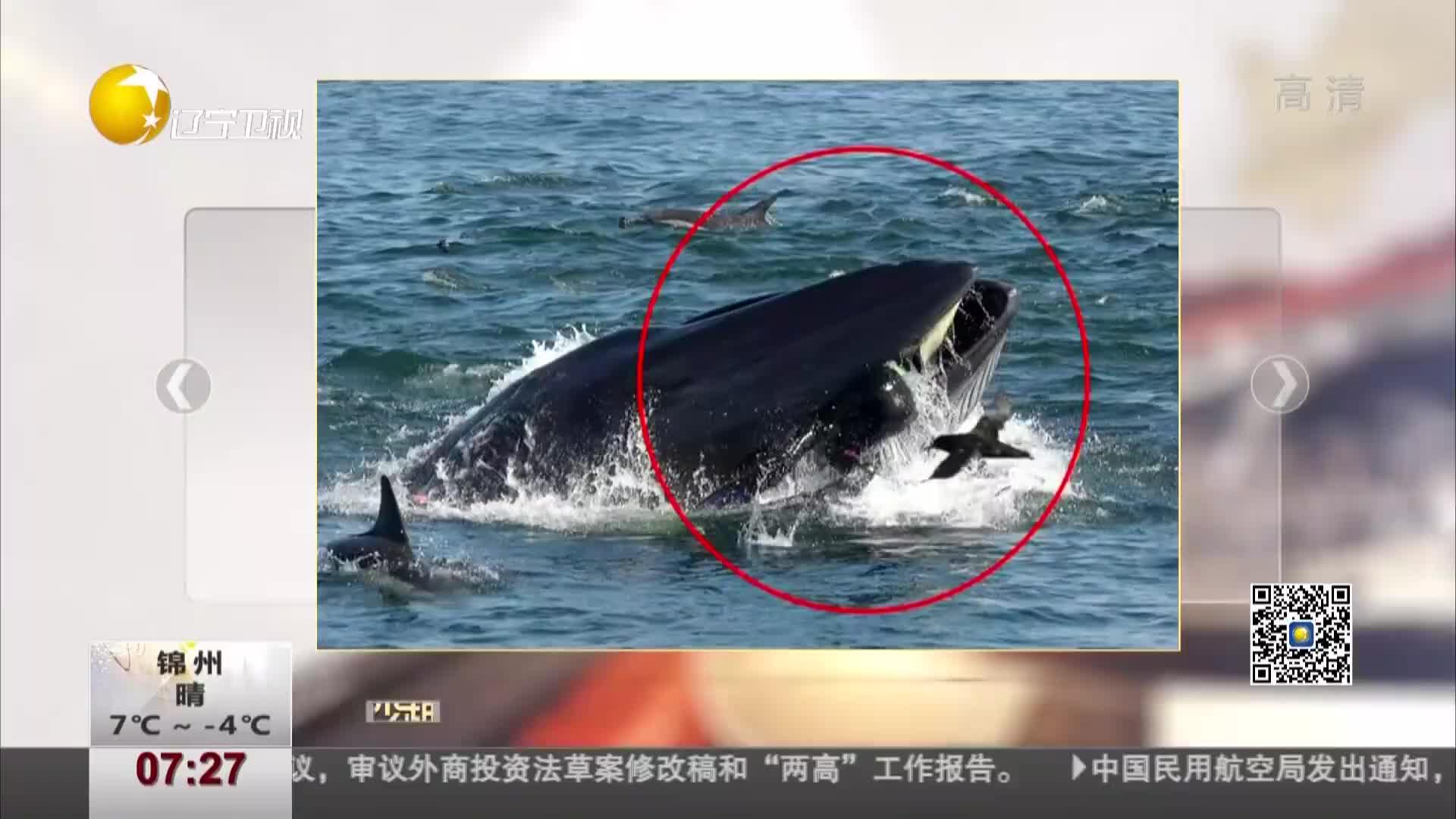 [视频]潜水员被鲸鱼吞入又吐出