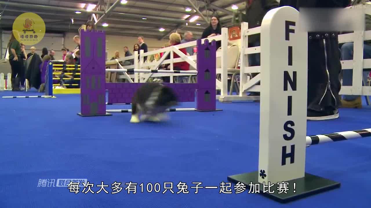 [视频]一年一度的兔子障碍赛开启!