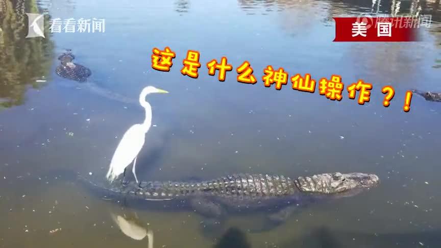 """[视频]神仙操作!硬核白鹭脚踩鳄鱼悠哉""""巡视""""河面"""