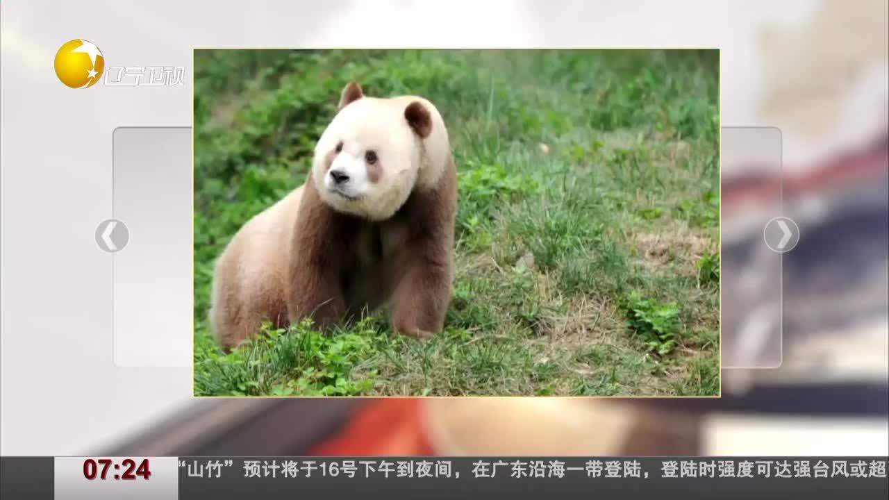 """[视频]大熊猫是国宝""""没墨的""""它是""""宝中之宝"""""""