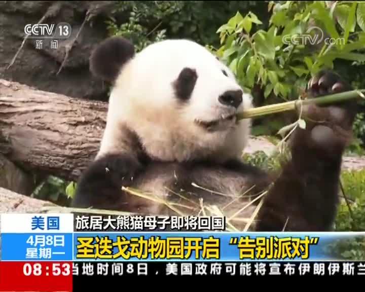 """[视频]旅居大熊猫母子即将回国 圣迭戈动物园开启""""告别派对"""""""