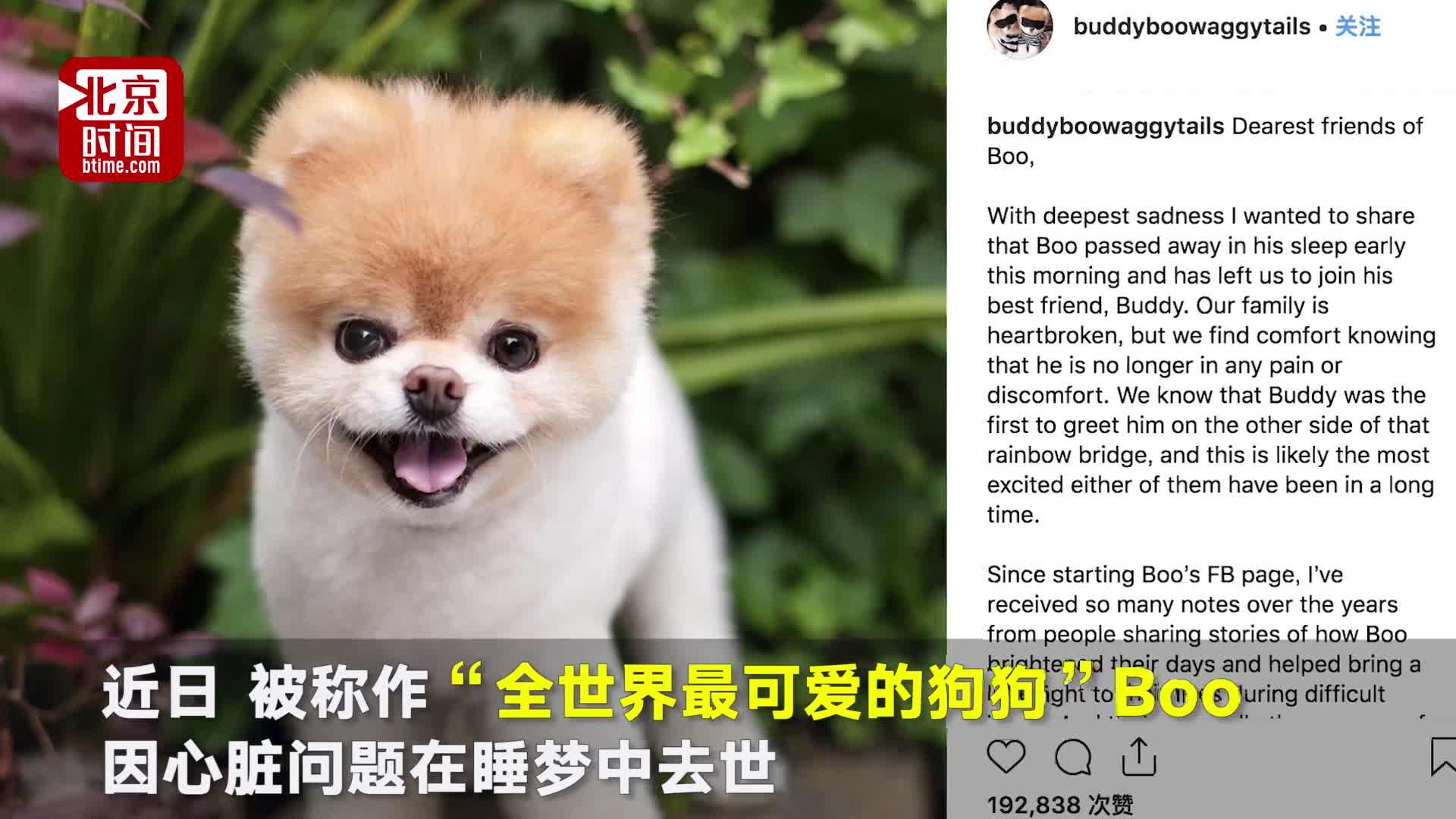"""[视频]""""最可爱的狗"""" 因失去同伴引发心脏病去世"""