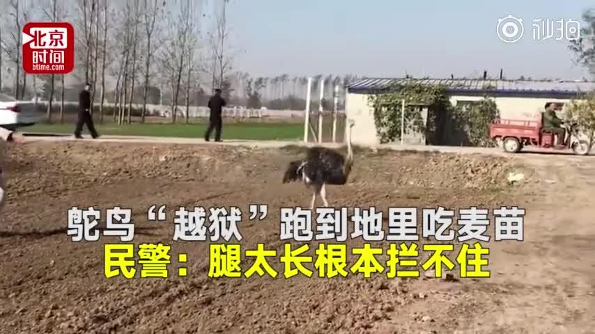 """[视频]鸵鸟""""越狱""""跑到地里吃麦苗 民警:腿太长根本拦不住"""