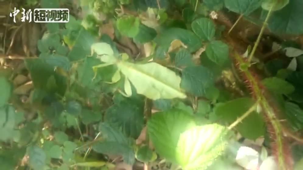 """[视频]行走的""""树叶""""云南普洱发现罕见竹节虫种类"""