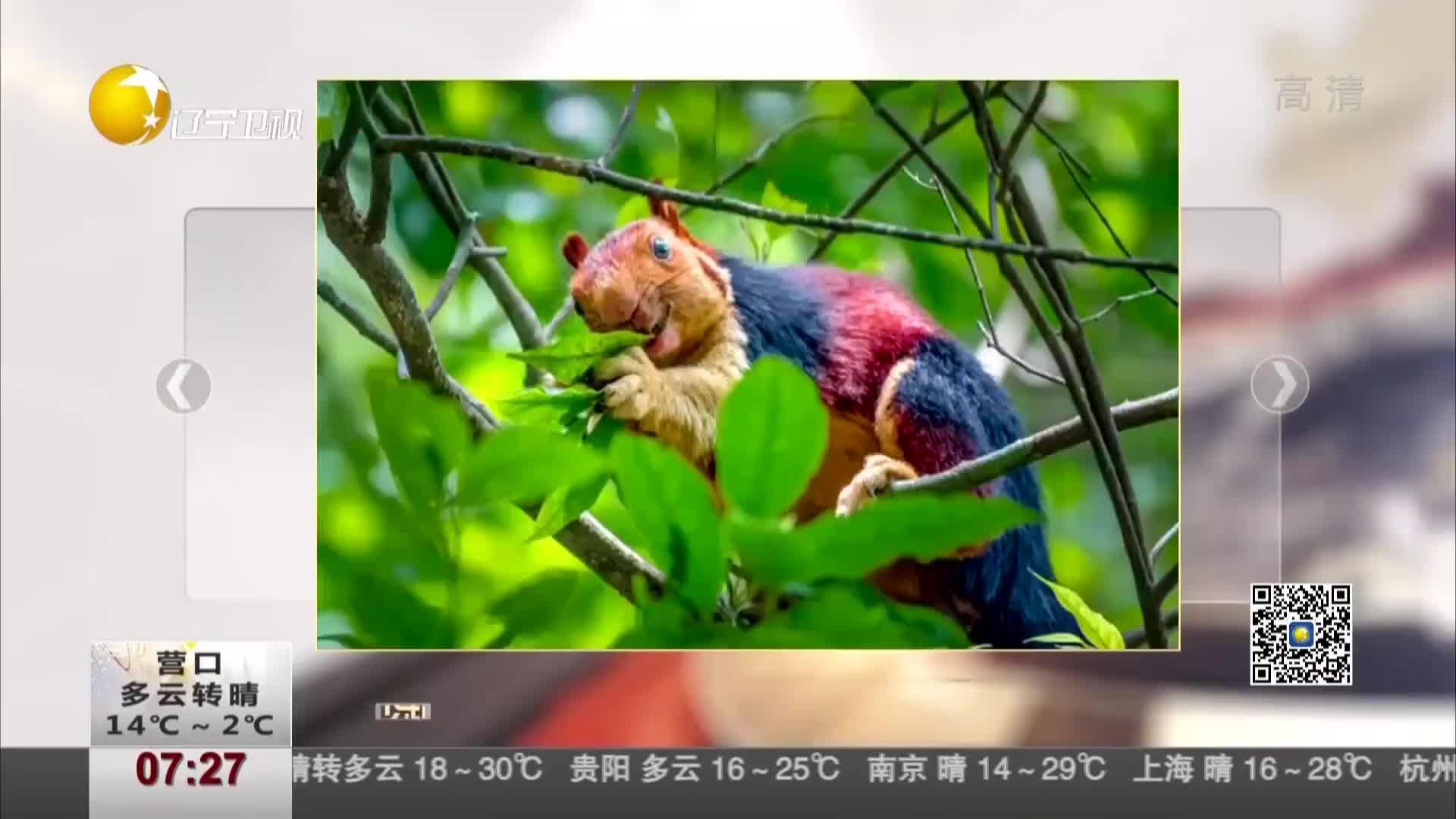 [视频]印度现彩色巨型松鼠 体型是正常松鼠的两倍大