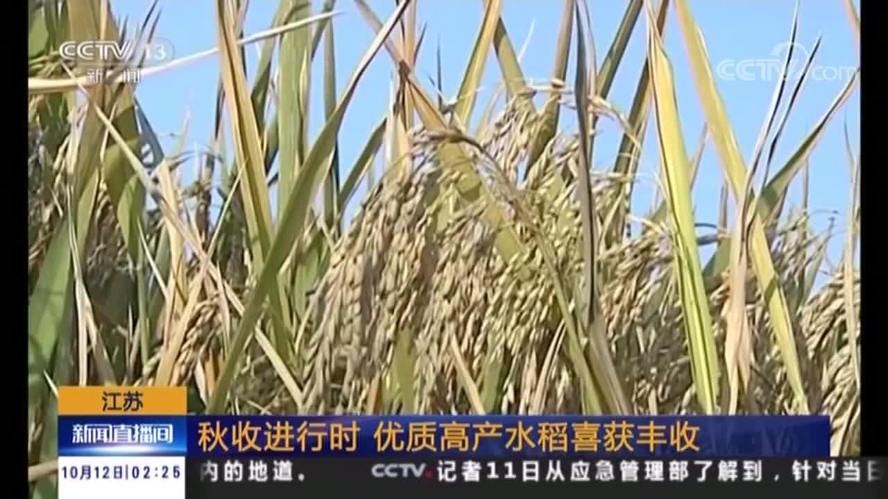 [视频]秋收进行时 优质高产水稻喜获丰收