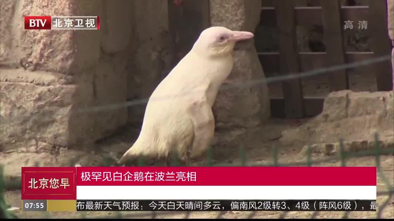[视频]极罕见白企鹅在波兰亮相