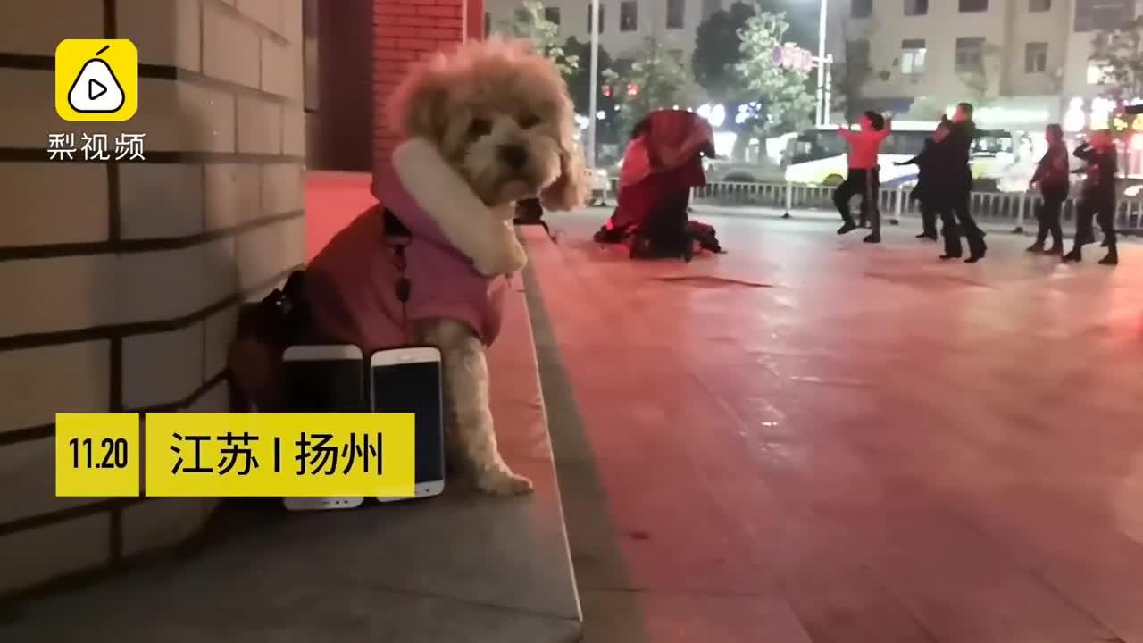 [视频]主人跳广场舞,宠物狗一旁背俩手机