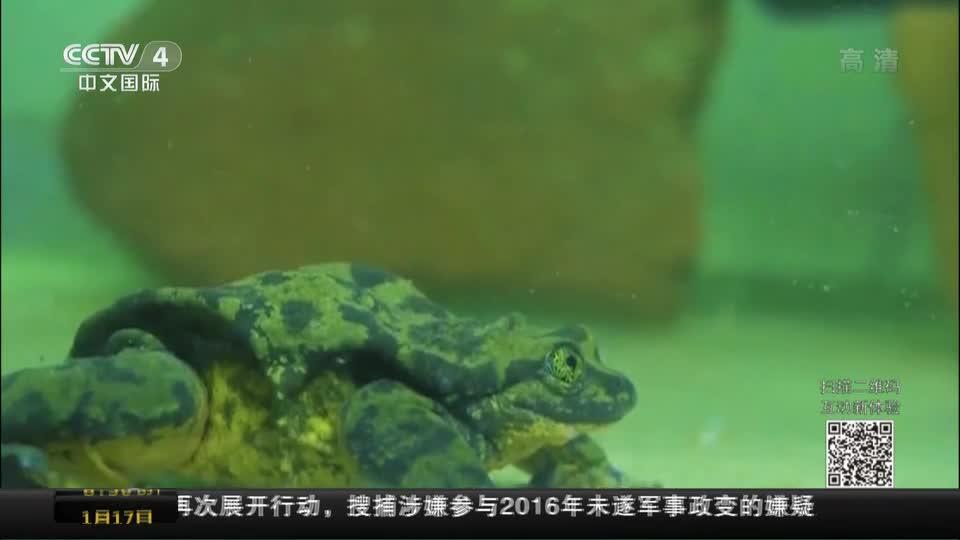 """[视频]玻利维亚:单身十年 水蛙""""罗密欧""""终遇""""朱丽叶""""-新华网"""