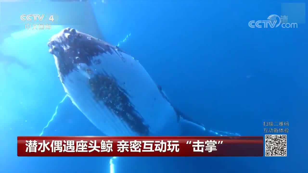 """[视频]潜水偶遇座头鲸 亲密互动玩""""击掌"""""""
