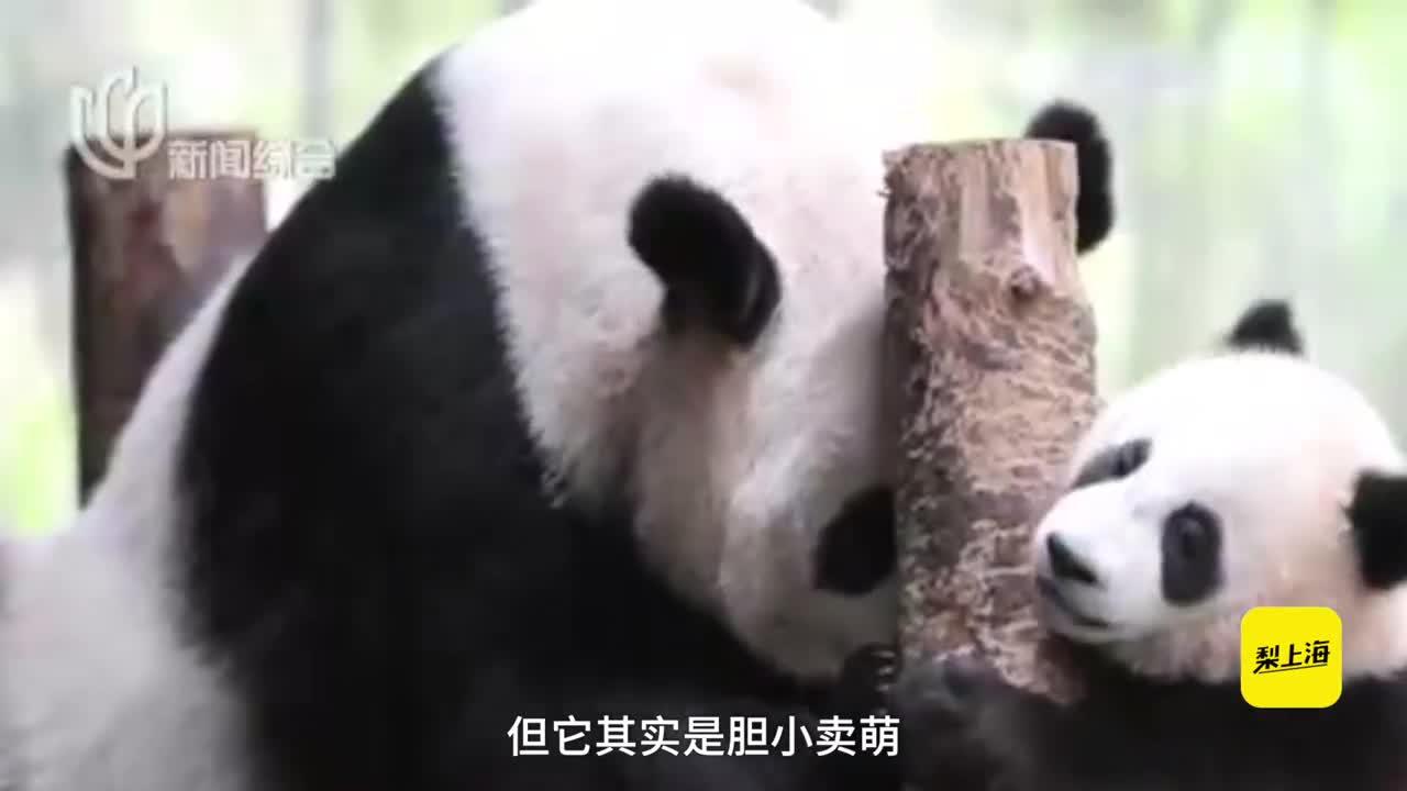 [视频]哥哥皮妹妹萌!上海熊猫宝宝向社会征名