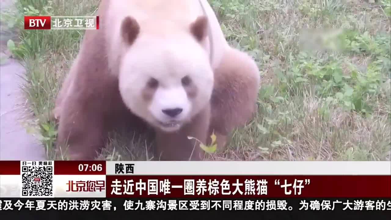 """[视频]走近中国唯一圈养棕色大熊猫""""七仔"""""""