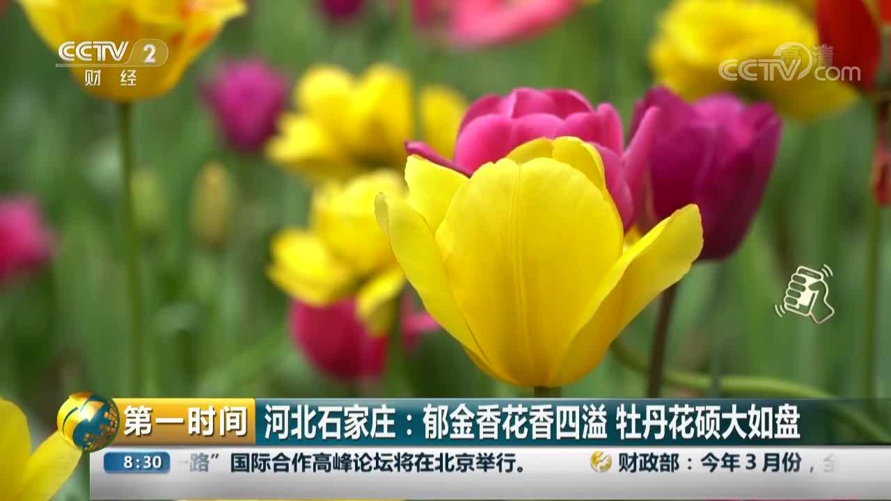 [视频]河北石家庄:郁金香花香四溢 牡丹花硕大如盘