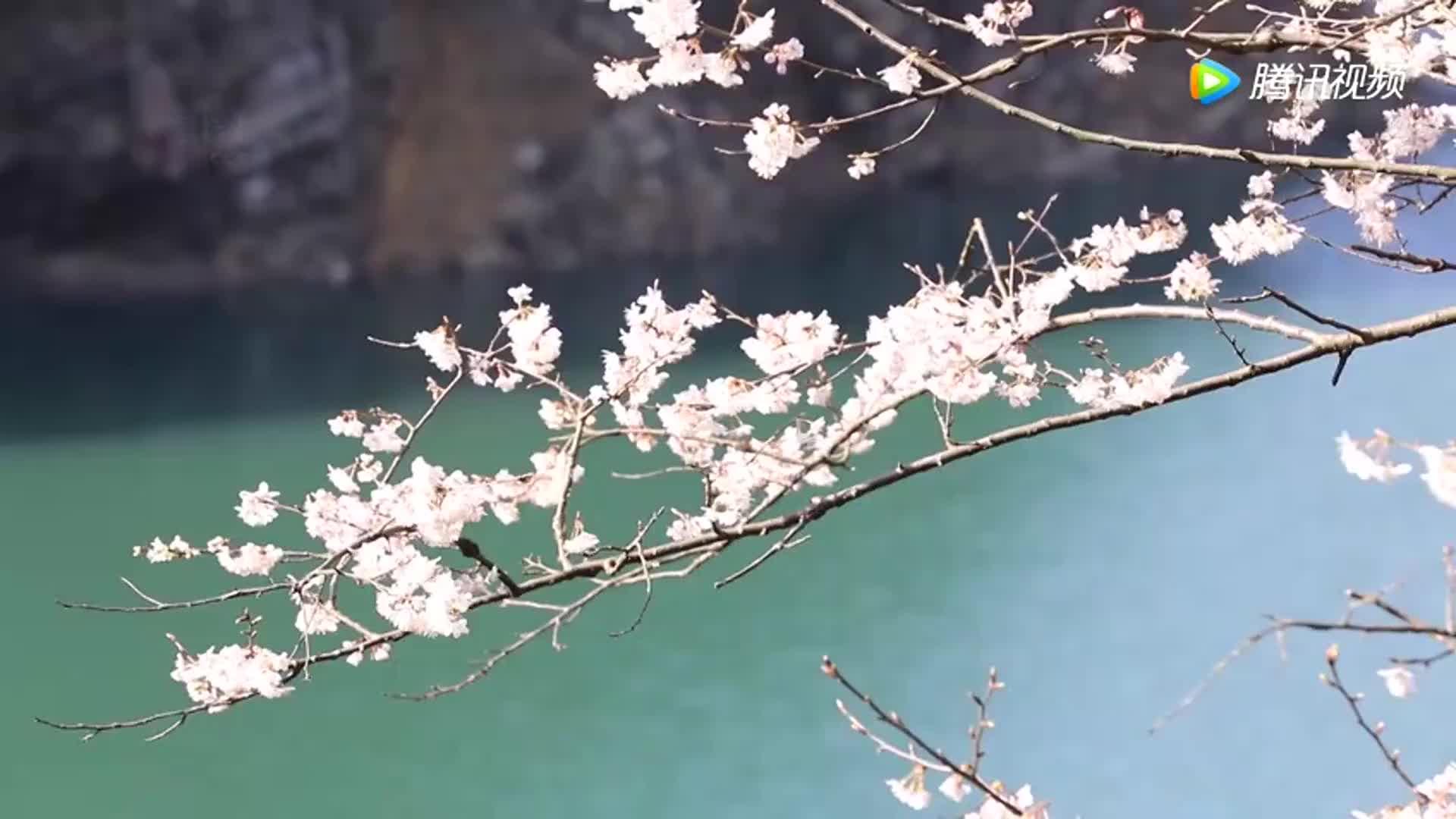[视频]十里画廊里的樱花雨