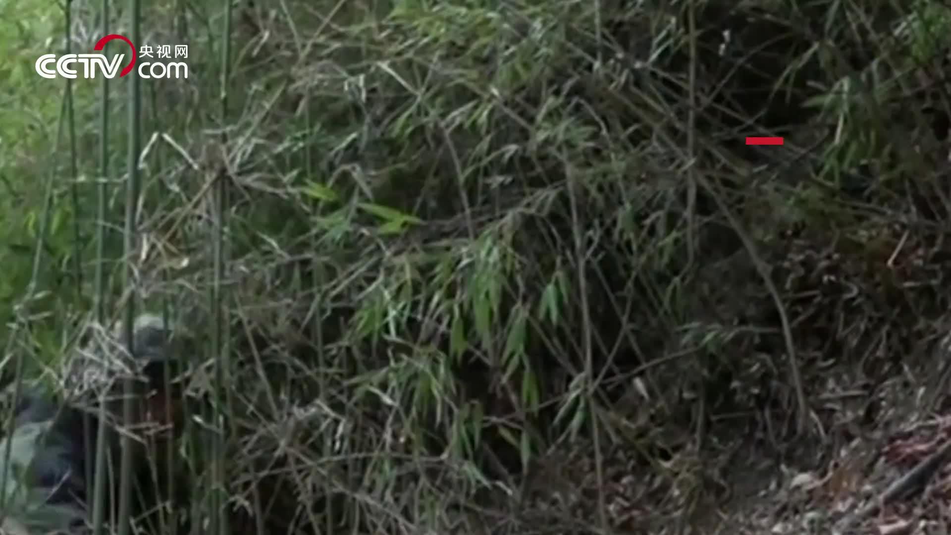 [视频]萌化!四川黄龙拍摄到野生大熊猫