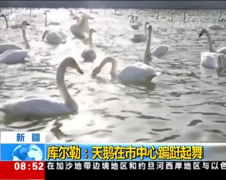 [视频]新疆 库尔勒:天鹅在市中心蹁跹起舞