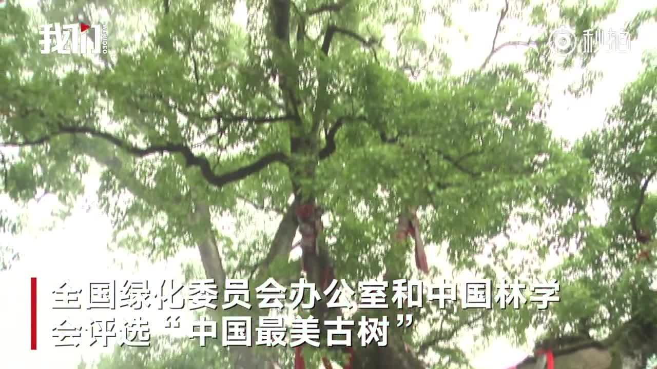 """[视频]怀化汉代2000岁古树入选""""中国最美古树"""" 12人才能合抱"""