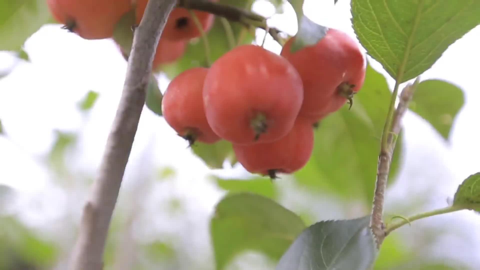 [视频]金秋十月 香甜味道