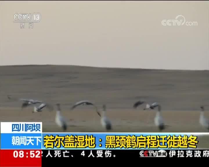 [视频]四川阿坝 若尔盖湿地:黑颈鹤启程迁徙越冬