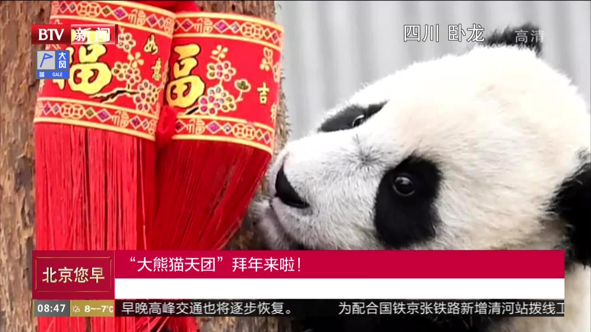 """[视频]国宝拜年 新生大熊猫""""天团""""送出最萌猪年祝福"""