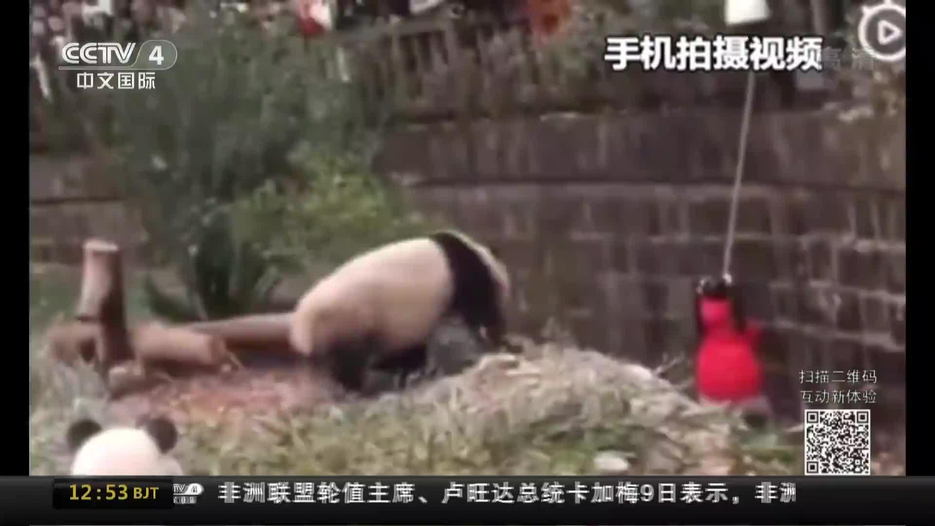[视频]成都:女孩掉进大熊猫活动场被救