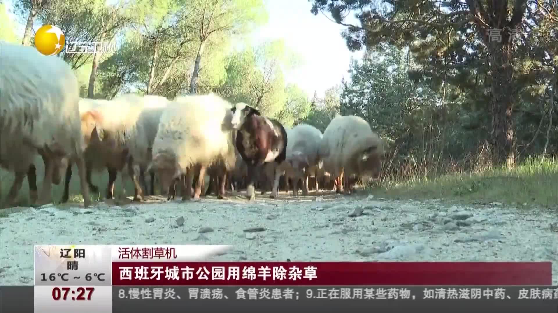 [视频]西班牙城市公园用绵羊除杂草