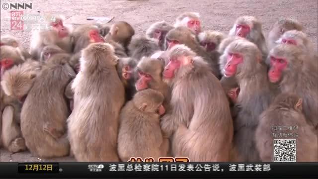 """[视频]日本:500猴子报团取暖 上演""""猴团子""""奇观"""
