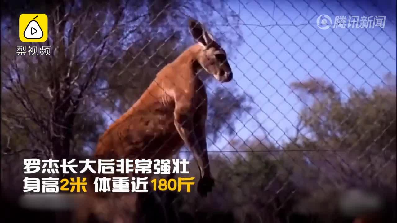 [视频]袋鼠界的施瓦辛格去世了 你还记得它徒手捏铁桶吗?